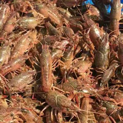 养殖小龙虾苗鲜活小龙虾种苗虾种食用成品虾5斤起发 量大优惠