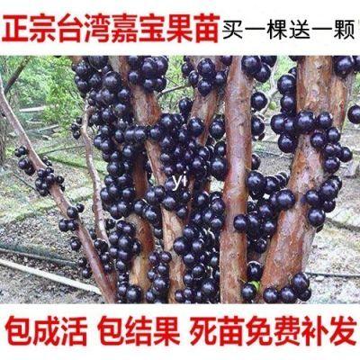 买一送一嘉宝果树苗树葡萄苗正宗台湾树葡萄榴莲树苗南北方种植