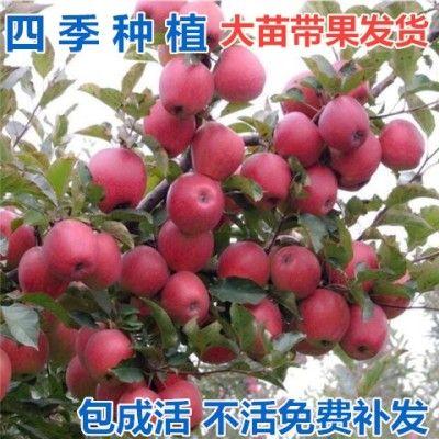 苹果树苹果树苗嫁接矮化盆栽地栽苗果树苗盆栽苹果当年结果