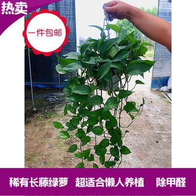 植物盆栽玫瑰百香果大果金边吊兰盆栽葡萄批发真花绿植园艺树盆栽