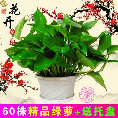 小盆栽植物花种子四季室外葡萄水仙花吊篮植物营养液韭菜根盆栽复