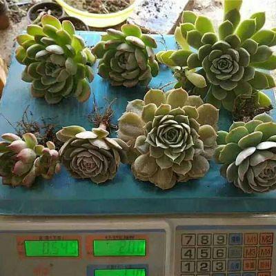 罗汉松盆景仙人球盆景树季花卉开花鸟月季花纸树草草沙漠玫瑰盆栽