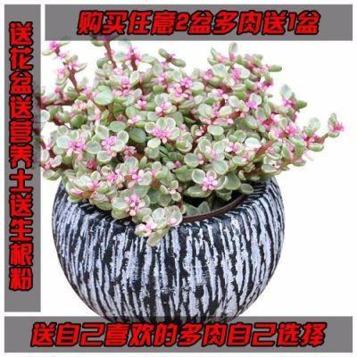 多肉植物雅乐之舞+石丸盆+营养土+肥买2送1自选多肉花卉盆栽绿植
