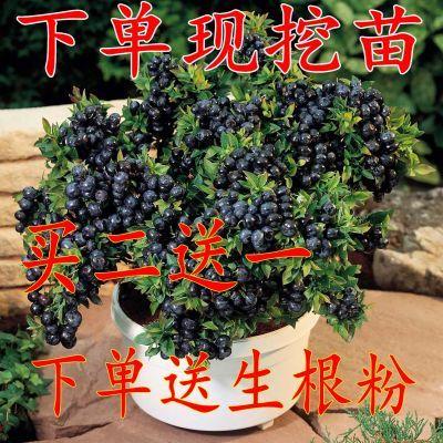 买2送1 蓝莓苗 蓝莓树苗 盆栽地栽蓝莓树 当年结果南方北方果树苗