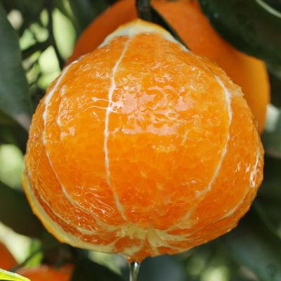 爱媛38号橙 四川橙子新鲜水果当季孕妇冰糖橙橘子果冻橙赣南脐橙