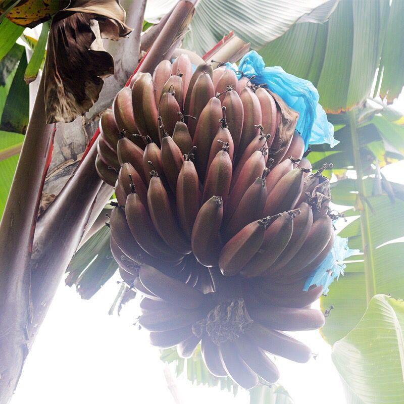 福建土楼美人蕉红皮香蕉批发3/5斤非小米蕉芭蕉皇帝蕉当季水果