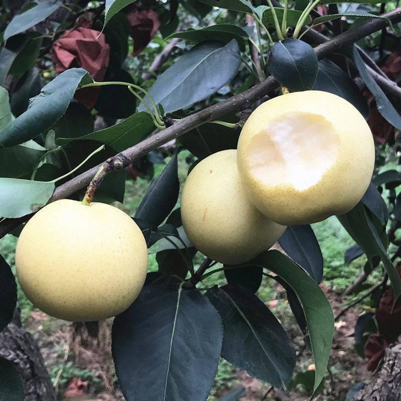 【梨小二】河北皇冠梨现摘当季新鲜梨子水果5斤装 (单果200g起)