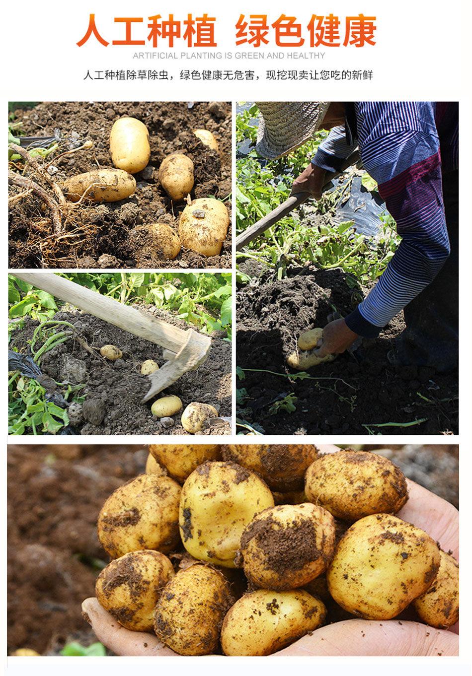 新鲜土豆批发蔬菜农家非转基因大中土豆马铃薯地瓜净重9斤5斤3斤
