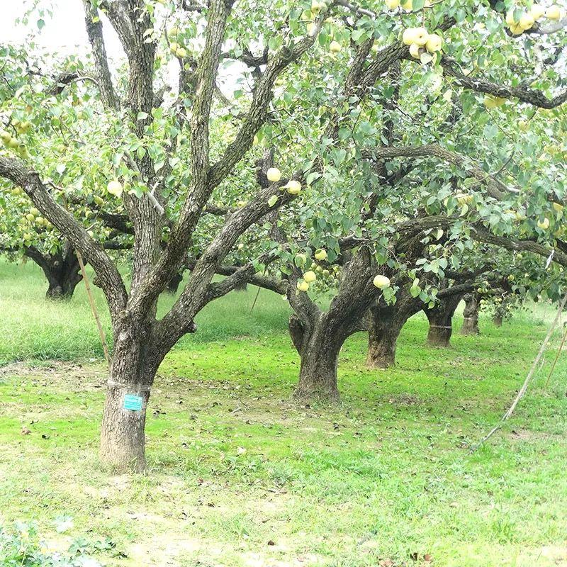 【现摘】砀山酥梨5/10斤包邮新鲜梨子水果非皇冠梨丰水梨青梨雪梨