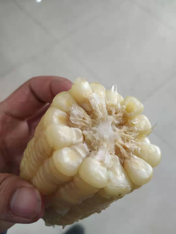速冻粘玉米香甜糥玉米棒新鲜黏玉米农家吉林长白山苞米大棒6-8棒