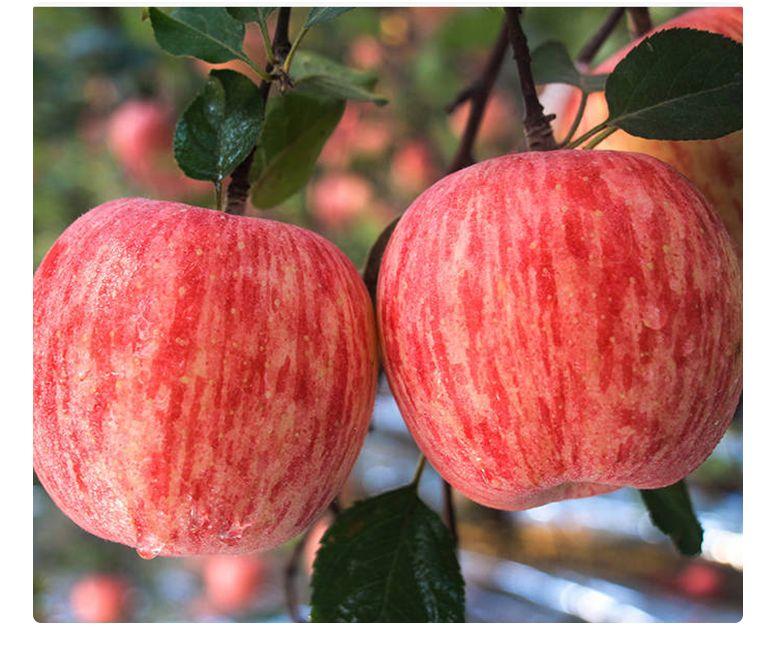 陕西应季红富士苹果批发现摘现发当季新鲜脆甜苹果水果整箱包邮