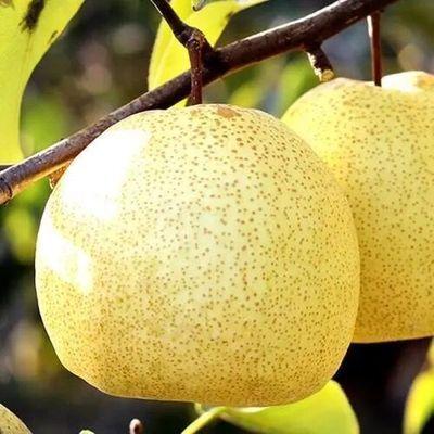 正宗百年梨树砀山酥梨10斤包邮新鲜梨子水果非皇冠梨青梨雪梨