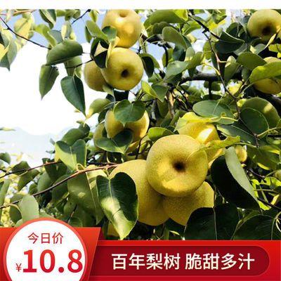 砀山酥梨正宗梨子水果批发水果新鲜应季水果雪梨贡梨孕妇水果现摘