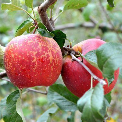 云南昭通丑苹果野生苹果脆甜丑苹果冰糖心云南丑苹果昭通糖心苹果