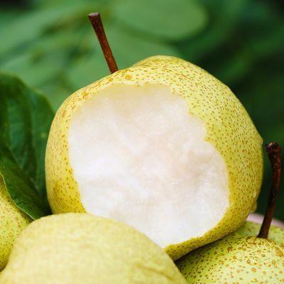 砀山酥梨单果200g起整箱包邮(不建议生果食用)