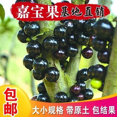 嘉宝果树苗树葡萄苗正宗台湾树葡萄四季南方北方种植当年结果包邮