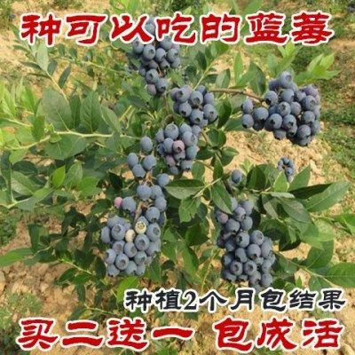 【买二送一】盆栽蓝莓苗当年结果树苗木阳台果树【食用蓝莓】
