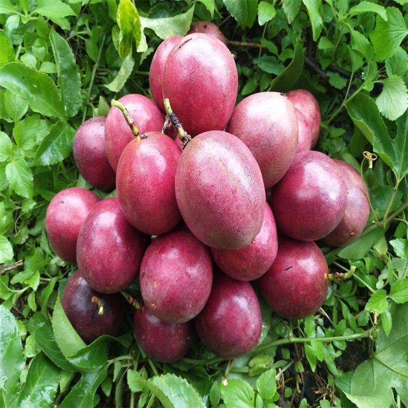 [送开果器]广西百香果大果5斤3斤2斤10个大果50-90克中果40-60克