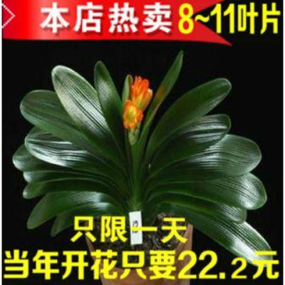 【买1送3】5年君子兰花苗盆栽蝴蝶兰室内花卉精品国兰好养的花