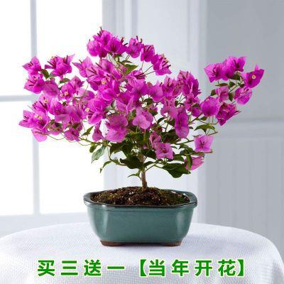 大红三角梅花苗盆栽室内观花植物水培花卉绿植庭院四季开花带花盆