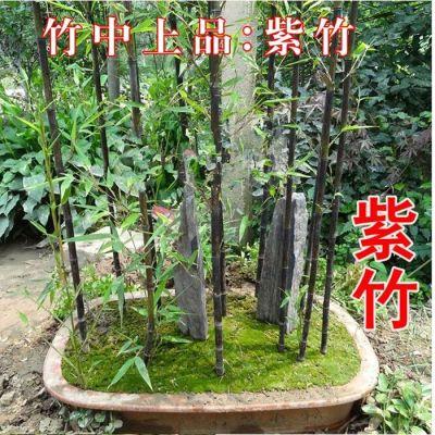 青竹子芽紫竹苗盆栽室内花卉庭院植物地栽绿化苗篱笆树苗四季常青