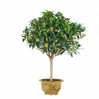 金桂花树苗盆栽植物室内带花卉四季浓香型观花庭院净化空气绿植