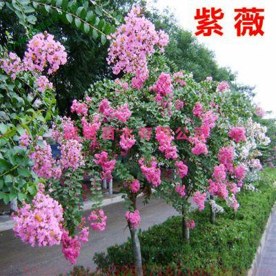 紫薇花苗盆栽室内花卉绿植水培四季观花庭院植物百日红树苗小盆景