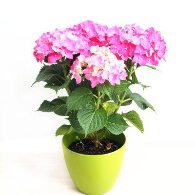 无尽夏绣球花苗盆栽室内观花植物庭院阳台花卉四季开花绿植带花盆