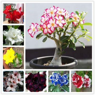 沙漠玫瑰花苗盆栽室内观花卉多肉植物组合四季开花不断绿植带花盆