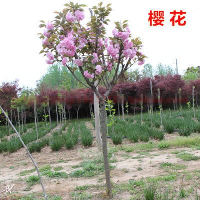 日本樱花树苗庭院室内盆栽花卉绿植水培四季观花植物净化空气盆景
