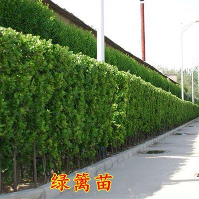 法国冬青树苗大小叶黄杨苗庭院花卉盆栽植物绿化篱笆树苗四季常青
