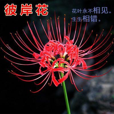 彼岸花种球石蒜曼珠沙华种子风信子四季花卉盆栽绿植室内庭院植物