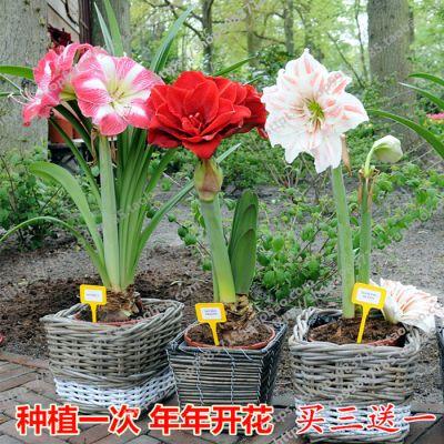 百合朱顶红种球四季风信子百合花卉种子盆栽绿植室内水培多肉植物