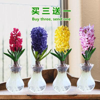 风信子种球水培植物盆栽室内花卉好养百合洋水仙花卉种子四季盆景