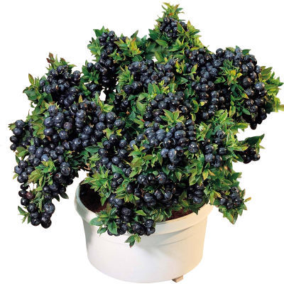 蓝莓树苗盆栽葡萄樱桃苹果树苗南方北方种植室内花卉庭院植物四季