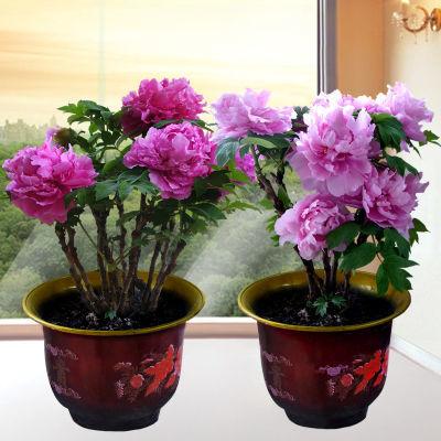 牡丹花苗盆栽花卉室内水培绿植物盆景绿萝月季茶花玫瑰蝴蝶兰花苗