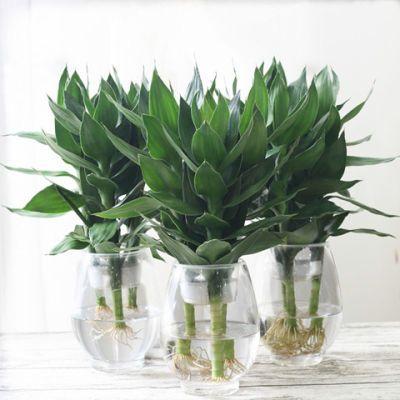 富贵水培植物观音竹室内盆栽花卉办公室水养盆景绿植吸甲醛包邮