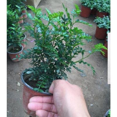桃树苗空气树苗玫瑰花盆栽蟹爪兰花苗种花土壤爬藤植物瓷盆百香果