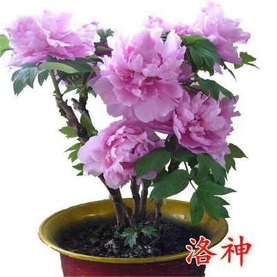 当年开花牡丹花苗盆栽大苗正宗菏泽四季绿植观赏花卉室内庭院洛阳