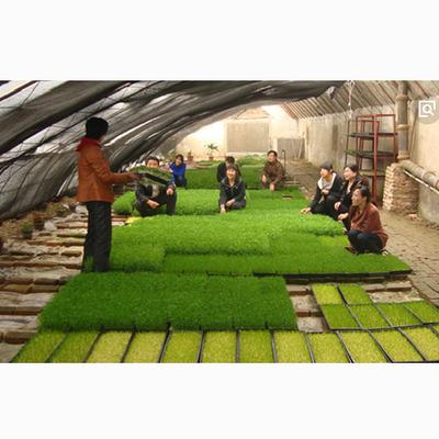 芽苗菜栽培种植技术 芽苗菜无土栽培技术全套1书籍与8光盘