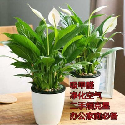 百香果鸵鸟苗吊篮植物观音竹盆栽马蹄莲蔷薇花软枣猕猴桃