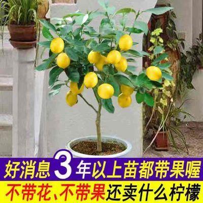 柠檬树 盆栽包邮 柠檬树苗 盆栽带果 柠檬苗 柠檬苗四季结果包邮