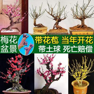 买一送二【梅花特价甩卖】梅花盆景苗树桩梅花苗盆栽 耐寒植物
