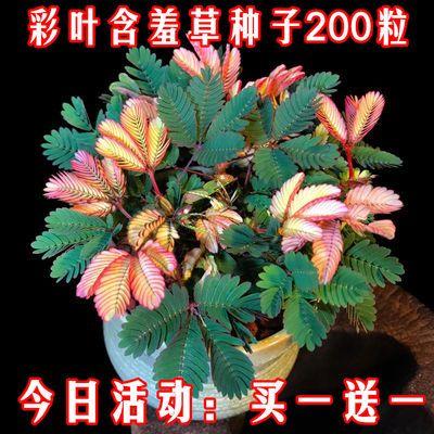 买1送1 包发芽【含羞草种子200粒】奇趣植物花卉种子盆栽植物花籽