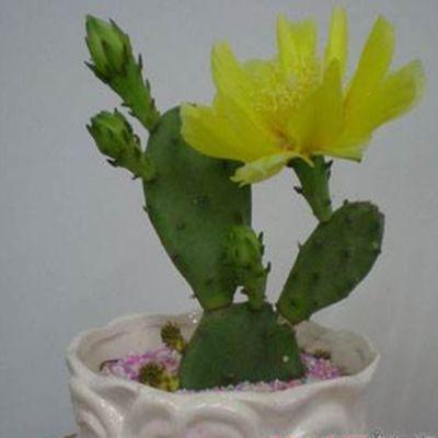 开花仙人掌盆栽多肉植物花卉仙人球种子可以结果的仙人掌种苗种子