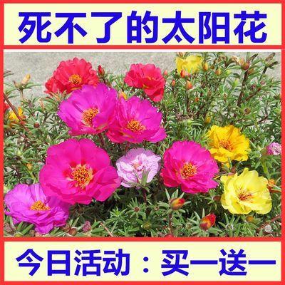 买1送1 包发芽【1万粒太阳花种子】太阳花重瓣混色松叶牡丹花种子