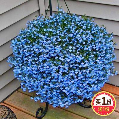 满天星种子易爆盆四季种易活开花不断室内阳台盆栽种子观花卉植物