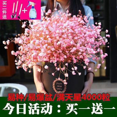 【买1送1】满天星种子2000粒四季易种易爆盆花卉种子阳台多款可选