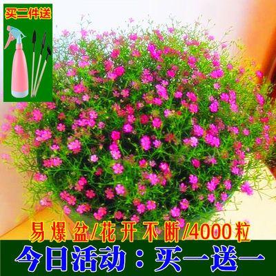 买1送1满天星种子四季易种易活花开不断净化空气花卉种子多款可选