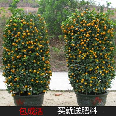 小金桔砂糖橘子树苗盆栽果树苗南北方种植室内花卉庭院绿植物四季